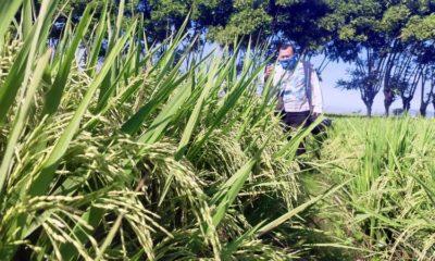 "SIAP PANEN: Lahan pertanian Poktan "" Muja "" salah satu kelompok tani yang berada di dusun Karangmalang, Desa Trebungan, Kecamatan Mangaran, Kabupaten Situbondo, Jawa Timur. (her)"