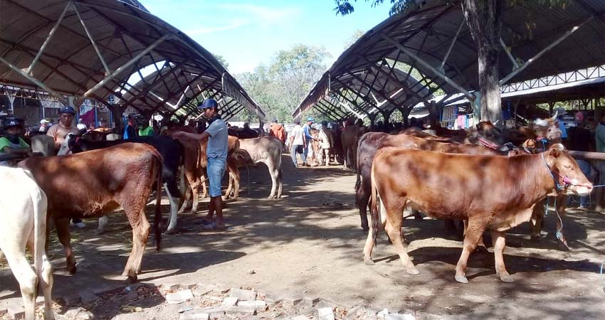 Hewan ternak di pasar hewan Sumberkolak, Kecamatan Panarukan. (her)