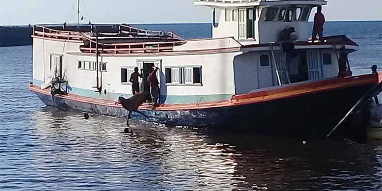 DILEMPAR: Sapi dilempar dari Kapal motor kayu pengangkut ke laut di pelabuhan Kalbut Situbondo. (her)